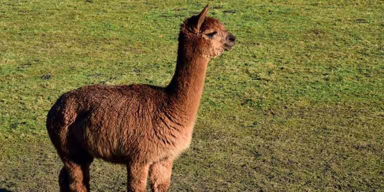 Guests can take Alpaca for a stroll to the Rangitata River